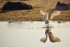 Pesce di cattura dell'uccello bianco nella spiaggia Fotografie Stock