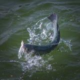 Pesce di color salmone pescato della trota con la spruzzatura in acqua Fondo di pesca di area immagine stock