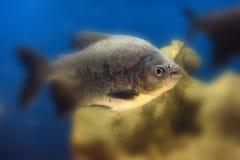 Pesce di colossoma macropomum o di Tambaqui in carro armato immagine stock