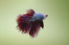 Pesce di combattimento di mezzaluna Fotografia Stock