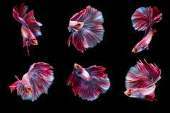 Pesce di combattimento di 6 momenti Fotografia Stock Libera da Diritti