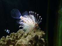 Pesce di corallo del bambino di bella vita subacquea del pesce Fotografie Stock Libere da Diritti