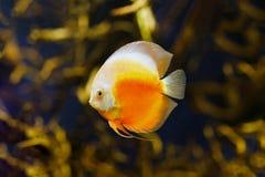 Pesce di disco della scacchiera nel Rio delle Amazzoni Fotografie Stock