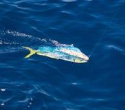Pesce di Dorado Mahi-Mahi agganciato con la linea di pesca Immagine Stock