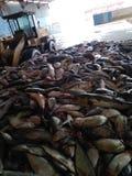 Pesce di farina di pesce fotografia stock