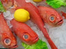 Pesce di Fragolino Fotografia Stock Libera da Diritti