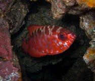Pesce di Glasseye - isole Canarie Fotografia Stock