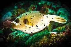 Pesce di istrice Fotografia Stock