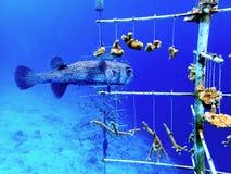 Pesce di istrice nella scuola materna di corallo il Bonaire di ripristino fotografia stock libera da diritti