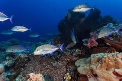 Pesce di Jack Immagine Stock Libera da Diritti