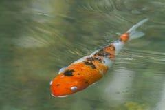 Pesce di Koi Immagini Stock
