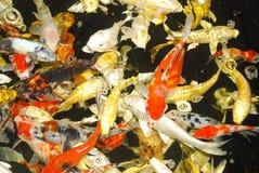 Pesce di Koi fotografie stock libere da diritti