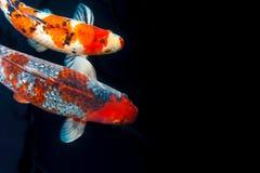 Pesce di Koi con effetto della pittura Immagine Stock