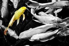 Pesce di koi dell'oro, Cyprinus Carpio Fotografie Stock