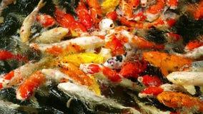 Pesce di Koi nel cibo dello stagno archivi video