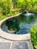 Pesce di Koi nello stagno di koi nel giardino Immagini Stock