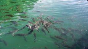 Pesce di Koi o nuoto del movimento lento del pesce della carpa dell'Amur nello stagno pi? specificamente nishikigoi e variet? col archivi video