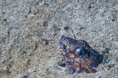 Pesce di lupo dell'anguilla di Mooray che si nasconde in sabbia immagine stock libera da diritti