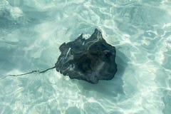 Pesce di manta Fotografia Stock Libera da Diritti