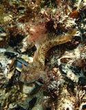 Pesce di Mar Nero Fotografia Stock Libera da Diritti