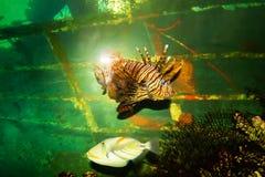 pesce di mare, coralli ed alghe in un acquario con illuminazione fotografia stock