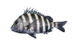Pesce di mare del sarago americano isolato su bianco Fotografia Stock Libera da Diritti