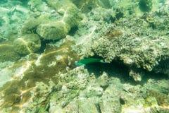 Pesce di mare verde per la vista subacquea Fotografia Stock
