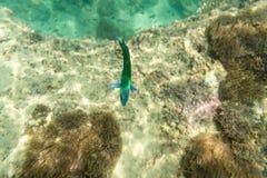 Pesce di mare verde per la vista subacquea Fotografie Stock Libere da Diritti