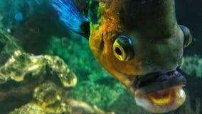 Pesce di Mc jagger fotografia stock