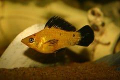 Pesce di Molly Immagini Stock Libere da Diritti