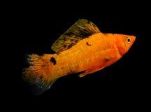 Pesce di Molly isolato su fondo nero Fotografie Stock Libere da Diritti