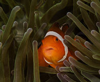 Pesce di Nemo o pesce del pagliaccio nell'anemone di mare immagini stock libere da diritti