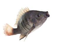 Pesce di Nilo che salta uso bianco isolato del fondo per il anima della natura Immagini Stock