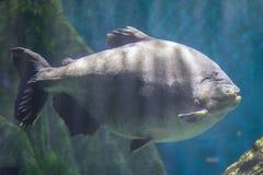 Pesce di Pacu fotografie stock