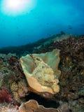 Pesce di pietra giallo Fotografie Stock