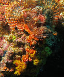 Pesce di pietra (Moalboal - Cebu - Filippine) Immagini Stock