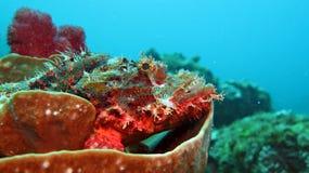 Pesce di pietra rosso Fotografia Stock
