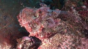 Pesce di pietra tossico pericoloso nel corallo di paesaggio subacqueo in Mar Rosso archivi video