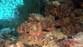 Pesce di pietra tossico pericoloso sul paesaggio subacqueo del fondo in Mar Rosso archivi video