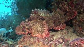Pesce di pietra tossico pericoloso in underwater di corallo in Mar Rosso video d archivio