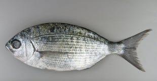 Pesce di Porgie Fotografie Stock