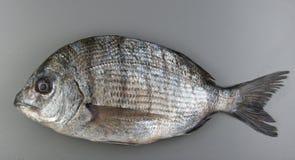 Pesce di Porgie Immagini Stock