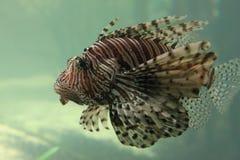 Pesce di Posiness Fotografie Stock Libere da Diritti