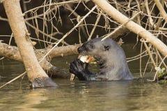 Pesce di rosicchiamento della lontra gigante selvaggia in fiume nell'ambito delle radici Fotografie Stock Libere da Diritti