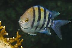 Pesce di sergente fotografia stock