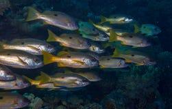 Pesce di Sweetlip Fotografia Stock