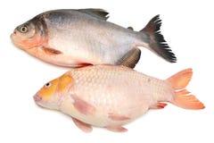 Pesce di Tambaqui Pacu In tensione, Perù fotografia stock