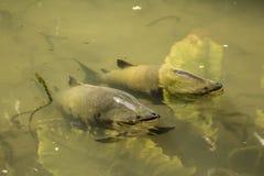 Pesce di Tambaqui in un lago fotografia stock libera da diritti