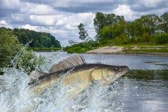 Pesce di Zander che salta con la spruzzatura in acqua immagini stock libere da diritti