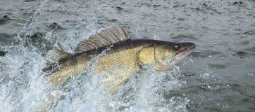 Pesce di Zander che salta con la spruzzatura in acqua immagine stock